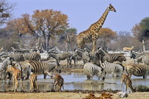 Large group of animals at a waterhole, a drinking place in Etosha, Namibia. The group consists of Burchell's zebras, Springboks, Impalas and a Giraffe.